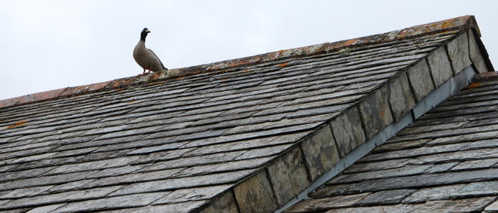 Ducks On The Roof